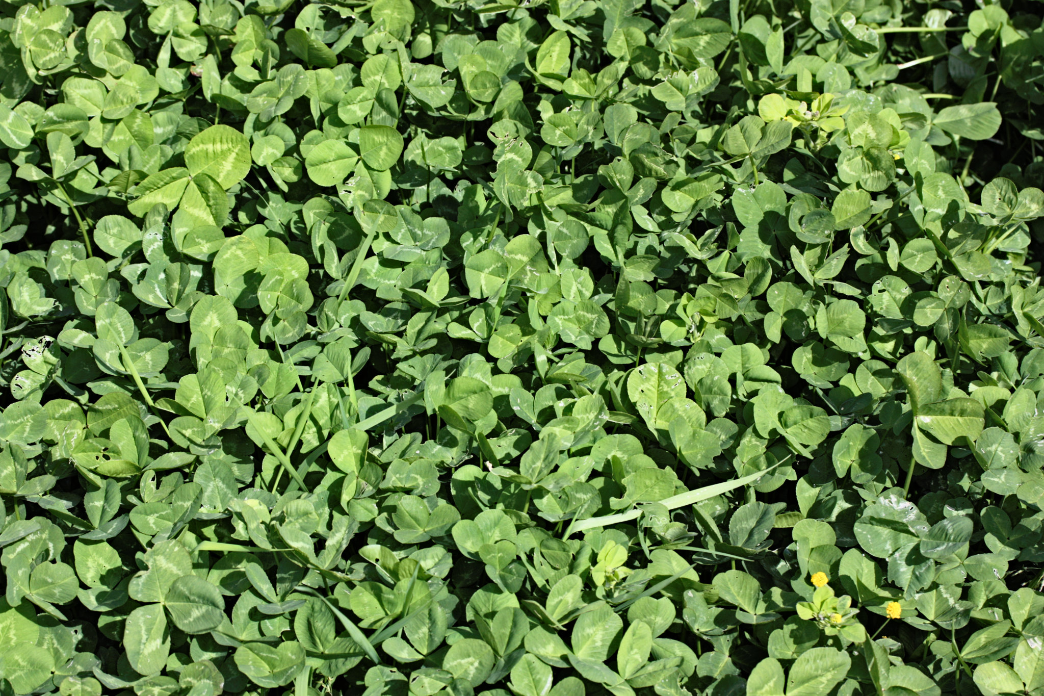 the development of clover plants using nitrogen fixation Nitrogen is a critical limiting element for plant growth and production  biological  nitrogen fixation (bnf), discovered by beijerinck in 1901 (beijerinck  important  legumes used in agricultural systems include alfalfa, beans, clover, cowpeas,.